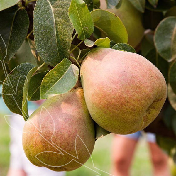 Our Holiday Pears come from the Rogue River Valley and receive an extra dose of sweetness on the branch. #BestofMet